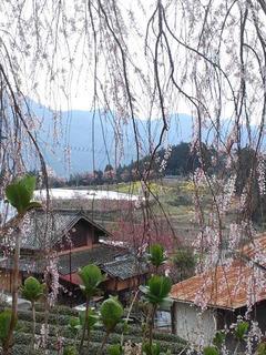 160329 野村の桜.jpg